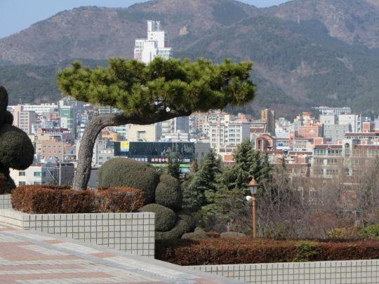 釜山文化會館平台入口迎客松
