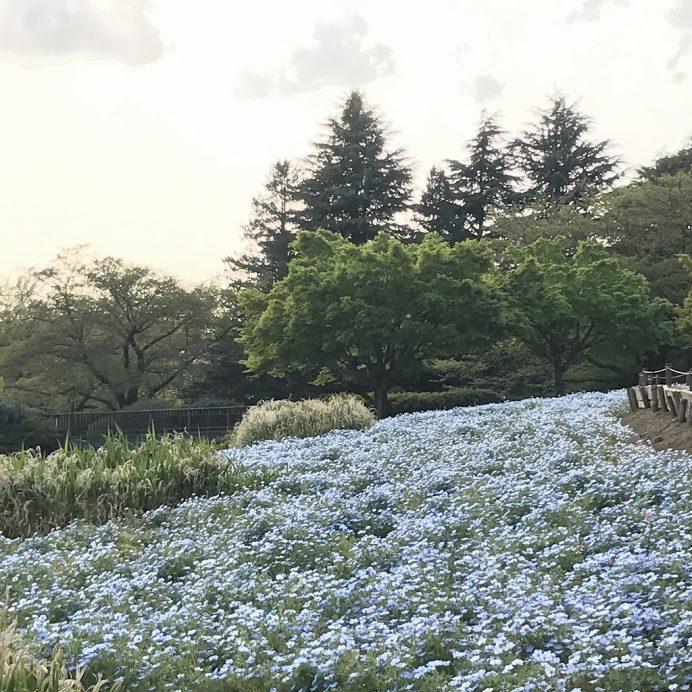 立川市國營昭和紀念公園 粉蝶花 開花情報