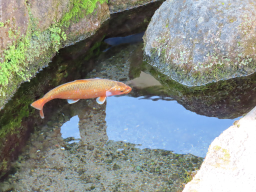 島原市 鯉魚水邊路、鯉魚游泳池