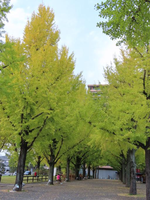 熊本縣廳銀杏樹林 秋天景色