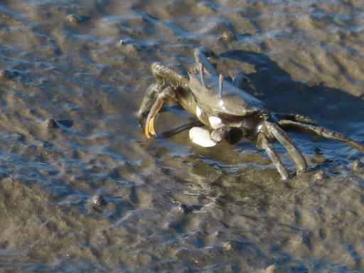 長部田海床路 螃蟹