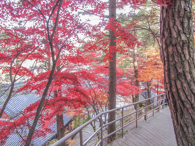 韓國丹陽 救仁寺 漂亮秋天紅葉步道景色