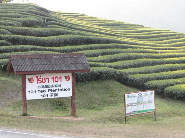 美斯樂青蔥遼闊的 101 茶園