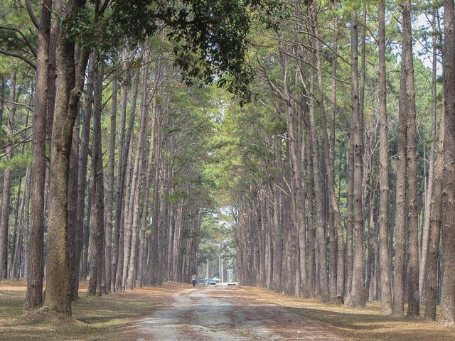 湄宏順松樹林