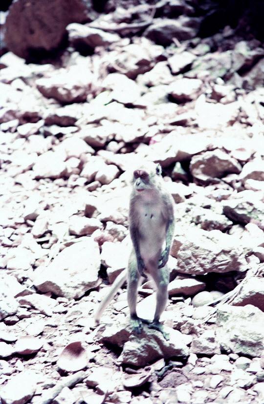 馬來西亞吉隆坡 黑風洞(Batu Caves) 猴子