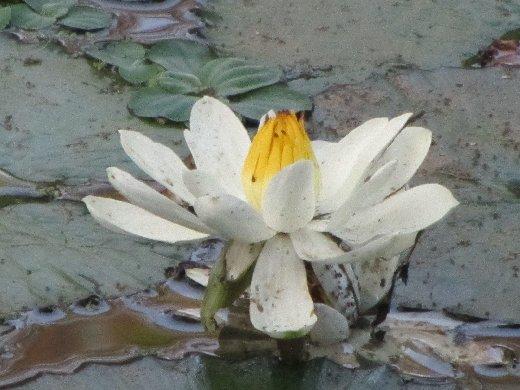 台南公園百花祭 蓮花