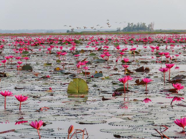 烏隆府紅蓮花海飛鳥壯觀景色